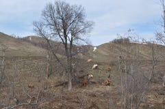 Vaches frôlant sur la colline Images stock