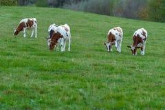 Vaches frôlant sur un pré vert Photo libre de droits