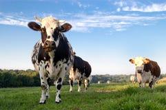 Vaches françaises dans un domaine Photos stock