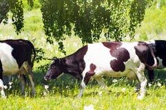 Vaches frisonnes sous l'arbre Photographie stock