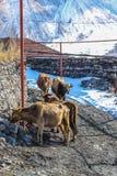 Vaches géorgiennes à montagne Image libre de droits