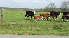 Vaches heureuses Photos libres de droits
