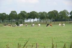 Vaches hollandaises photographie stock