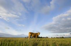 Vaches hollandaises Images stock