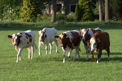 Vaches hollandaises Photos libres de droits