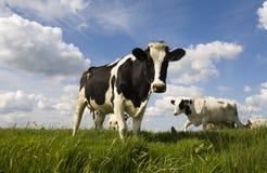 Vaches hollandaises photo libre de droits