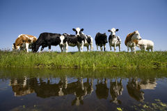 Vaches hollandaises Photo stock