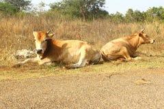 Vaches indiennes Image libre de droits