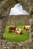 Vaches irlandaises dans des ruines d'abbaye Images stock