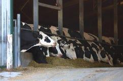 Vaches laitières contenues et déchets formulés images libres de droits
