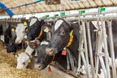 Vaches laitières dans une ferme photographie stock libre de droits