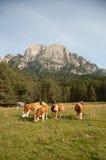 Vaches laitières de Simmentaler sur un pâturage Photos stock
