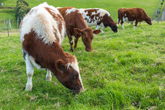 Vaches mangeant l'herbe Photo stock