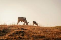 Vaches mangeant l'herbe sur le champ ouvert Photos stock