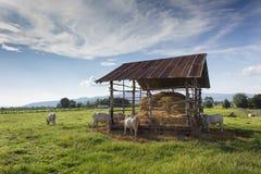 Vaches mangeant la paille sur le pré Photo libre de droits