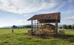 Vaches mangeant la paille sur le pré Photos stock