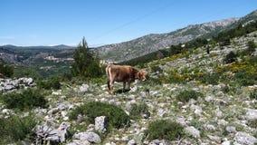 Vaches à montagne Photos stock