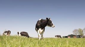 Vaches noires et blanches au Holstein dans le pré herbeux vert en ressort néerlandais avec le ciel bleu en Hollande photographie stock