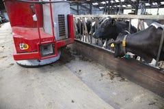 Vaches noires et blanches dans l'attente stable la nourriture du robot de alimentation Photos stock