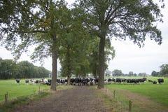 Vaches noires et blanches dans le domaine entre les chênes dans le netherlan Images stock