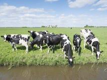 Vaches noires et blanches dans le pré herbeux vert sous le ciel bleu près d'Amersfoort en Hollande Photographie stock