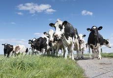 Vaches noires et blanches dans le pré herbeux vert sous le ciel bleu près d'Amersfoort en Hollande Photo stock