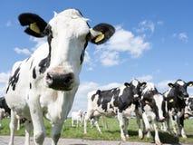 Vaches noires et blanches dans le pré herbeux vert sous le ciel bleu près d'Amersfoort en Hollande Photos libres de droits
