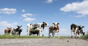 Vaches noires et blanches dans le pré herbeux vert sous le ciel bleu près d'Amersfoort en Hollande Image libre de droits