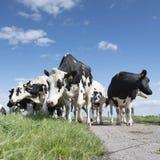 Vaches noires et blanches dans le pré herbeux vert sous le ciel bleu près d'Amersfoort en Hollande Photos stock