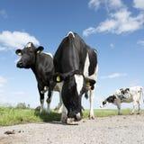 Vaches noires et blanches dans le pré herbeux vert sous le ciel bleu près d'Amersfoort en Hollande Photographie stock libre de droits