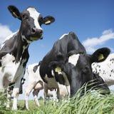 Vaches noires et blanches dans le pré herbeux vert sous le ciel bleu près d'Amersfoort en Hollande Image stock