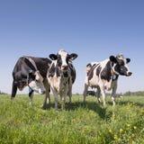 Vaches noires et blanches dans le pré néerlandais herbeux vert avec le ciel bleu en Hollandes entre Utrecht et Leerdam photos stock