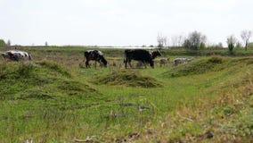 Vaches noires et blanches dans une rangée, arrière banque de vidéos