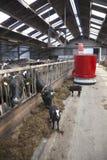 Vaches noires et blanches en alimentation stable de robot de alimentation Image libre de droits