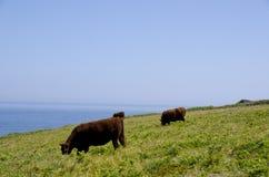 Vaches par la mer Photos libres de droits