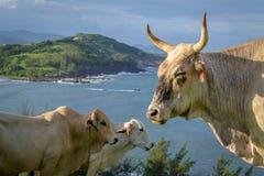 Vaches à plage Photographie stock