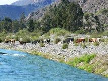 Vaches pour la nourriture Images libres de droits