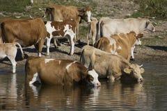 Vaches rafraîchissant sur le lac Images libres de droits