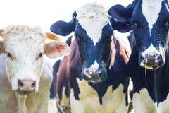 Vaches regardant fixement avec la bave et les mouches photographie stock
