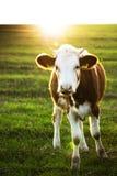 Vaches restant sur un pâturage Image libre de droits