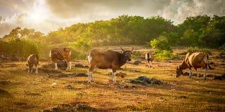 Vaches rouges asiatiques sur les champs exotiques verts photo libre de droits
