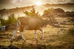 Vaches rouges asiatiques sur les champs exotiques verts photos libres de droits