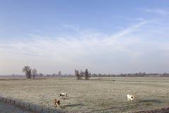 Vaches rouges et blanches dans le pré hivernal dans les zones inondables de la rivière Lek Image libre de droits