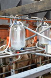 Vaches - salon de traite Photo stock