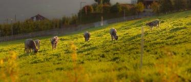 Vaches satisfaisantes dans le soleil de soirée Images libres de droits
