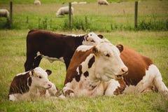 Vaches se couchant Photographie stock