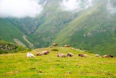 Vaches se reposant dans les montagnes dans Pyrénées Image stock