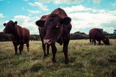 Vaches se tenant dans un domaine Photos libres de droits