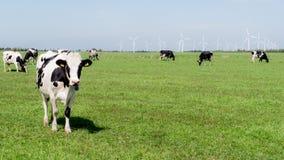 Vaches se tenant dans un domaine vert avec des turbines de vent à l'arrière-plan Photographie stock libre de droits