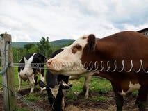 Vaches se tenant prêt la barrière électrique photographie stock libre de droits